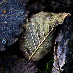 purple-vine-leaves