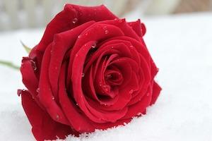 rose-1201291_1920