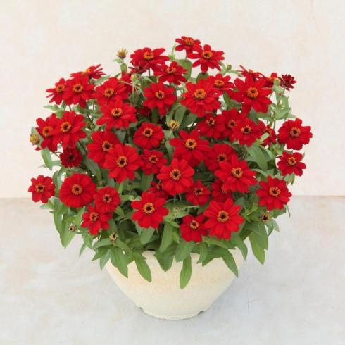 sakata-seed-zinnia-profusion-red_full_width.jpg